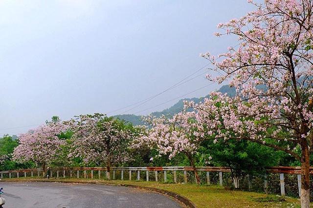 Con đường ngập tràn hoa ban ở Điện Biên