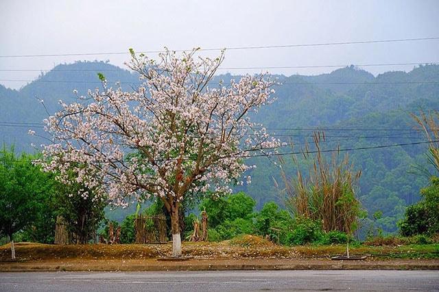Hoa ban khoe sắc ở Điện Biên