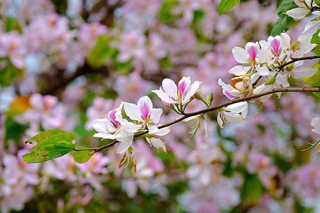 Tháng 3 mùa hoa ban ở Điện Biên
