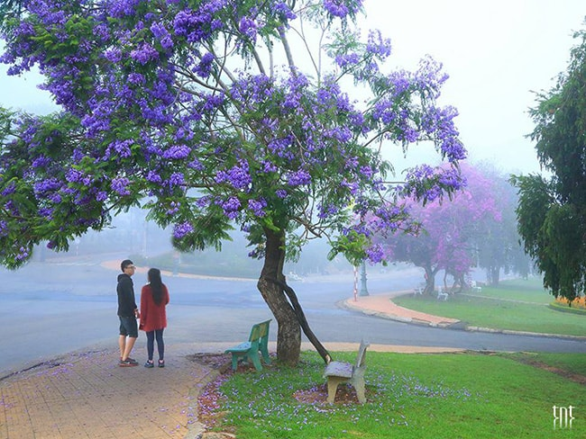 Đến Đà Lạt tháng 4 bạn sẽ được ngắm hoa phượng tím nở rực rỡ