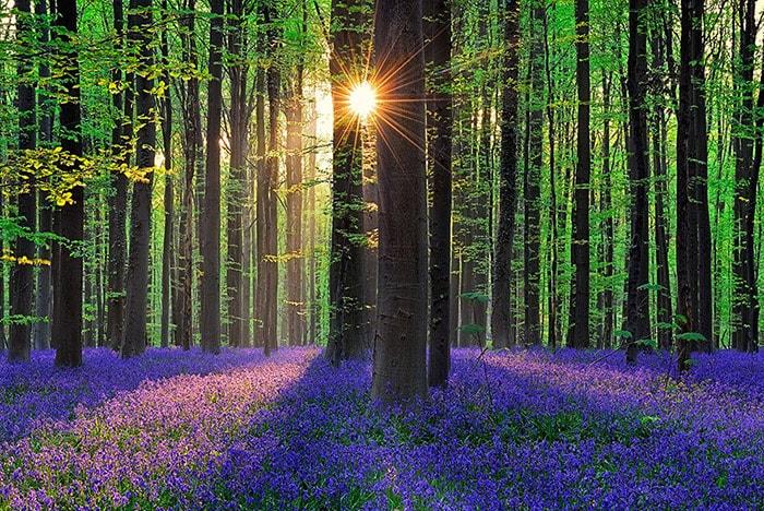 Rừng Hallerbos, một cánh rừng ở Flemish Brabant, Bỉ