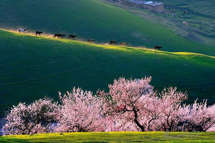 Thung lũng hoa mơ ở Trung Quốc
