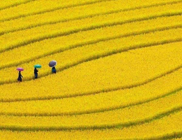 Mù Cang Chai mùa lúa chín làm say đắm biết bao nhiêu người