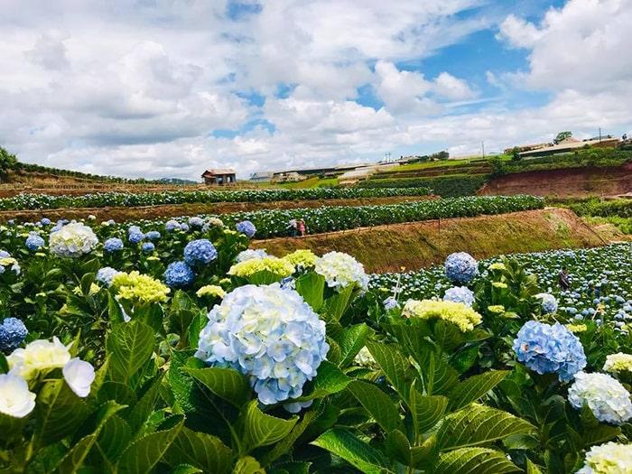 Cánh đồng hoa cẩm tú cầu Đà Lạt