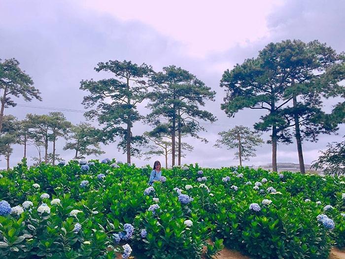 Vườn cẩm tú cầu trong khu du lịch Hồ Than Thở