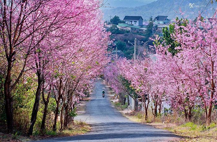 Mùa hoa Mai anh đào ở Đà Lạt