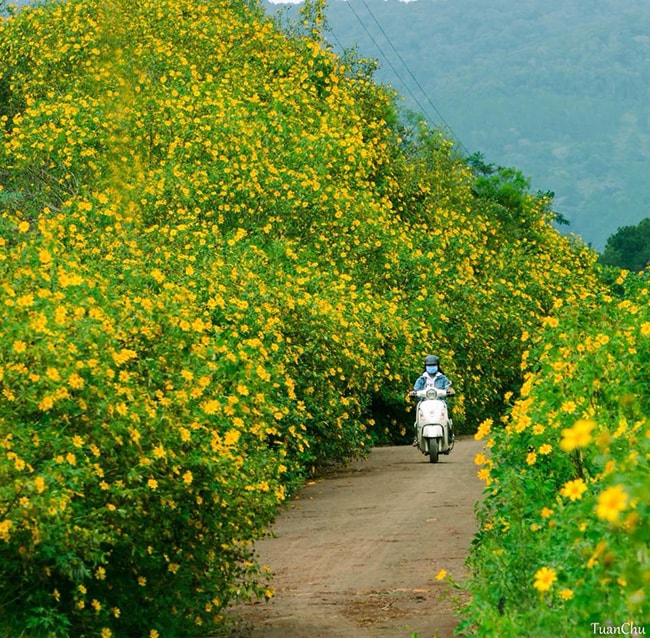 Con đường ngập tràn sắc vàng của hoa dã quỳ Đà Lạt
