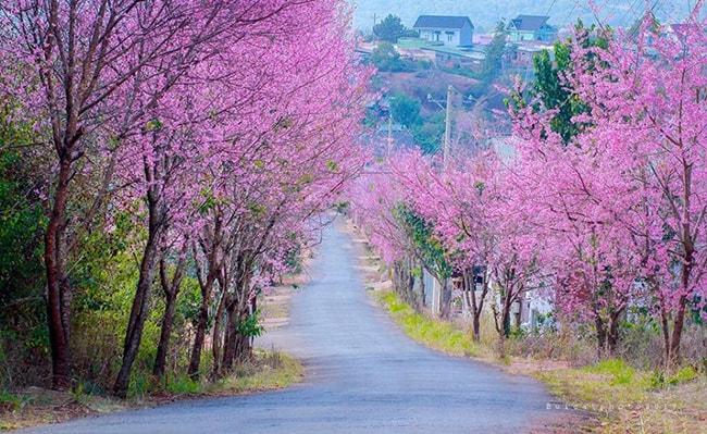 Con đường ngập tràn sắc hồng của hoa mai anh đào Đà Lạt