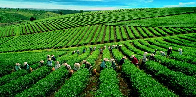 Trà Bảo Lộc là loại trà ngon nhất cả nước