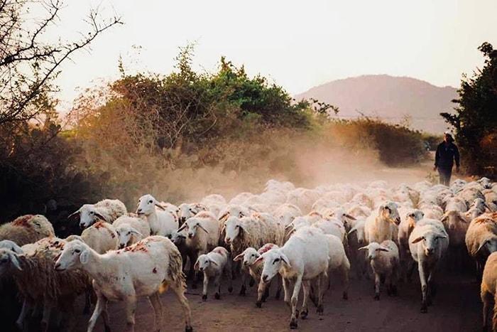 Đồng cừu An Hòa là địa điểm sống ảo khá lý tưởng của các bạn trẻ
