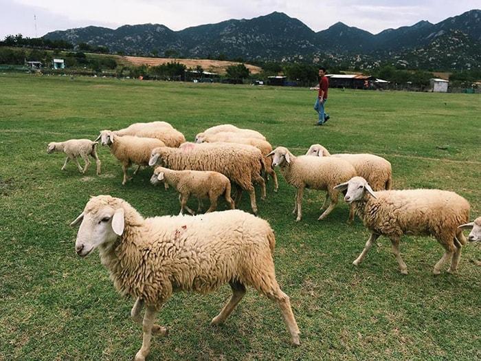 Những chú cừu béo núc được chăn thả tự do trên đồi cừu An Hòa
