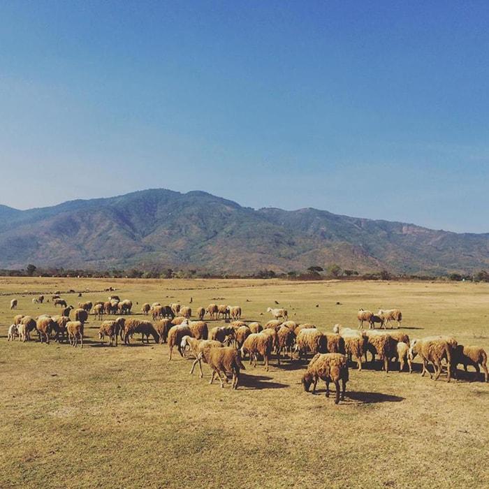 Đồng cừu An Hòa - Ninh Thuận