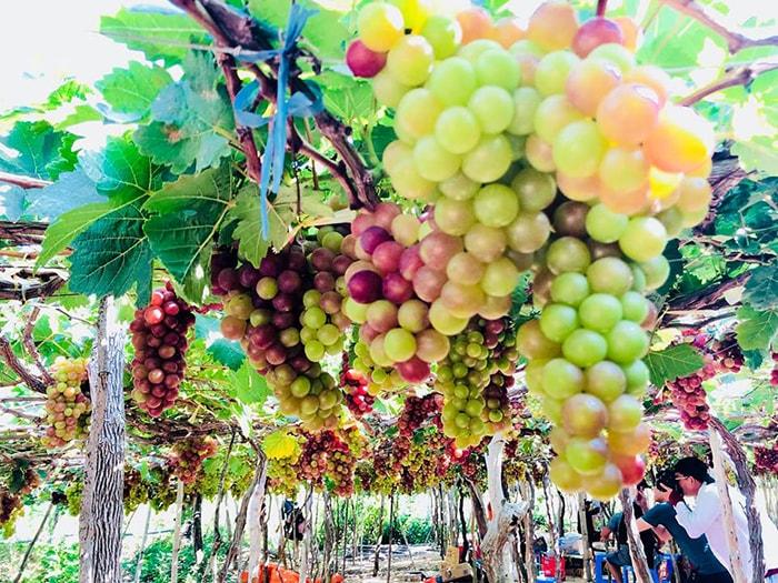 Những chùm nho chín mọng thu hút rất nhiều khách du lịch đến vườn nho Thái An