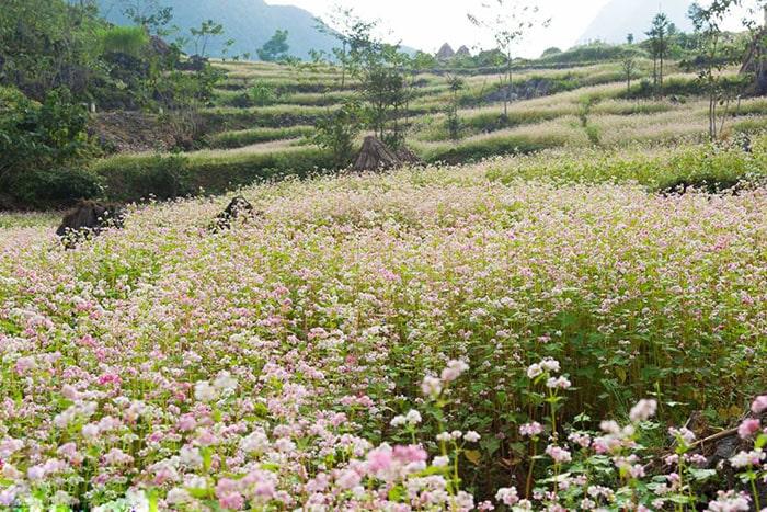Tháng 10 đi du lịch Hà Giang mùa hoa tam giác mạch