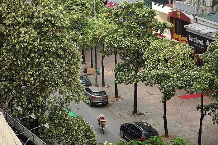 Tháng 10 ở Hà Nội ngập tràn mùi hoa sữa