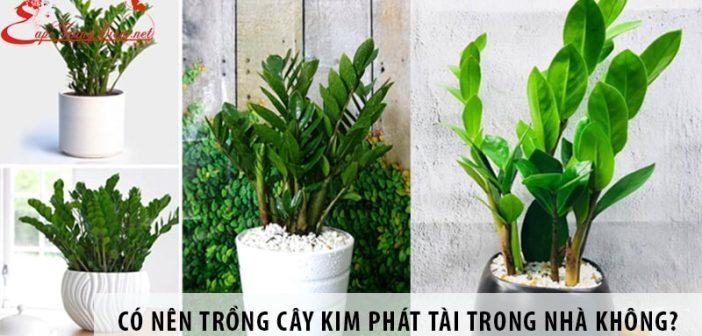 Có nên trồng cây kim phát tài trong nhà không?